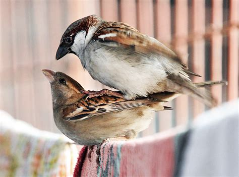 File:House Sparrows mating I IMG 0066