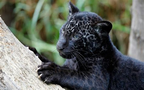 Charming Black Baby Leopard | HD Wallpapers